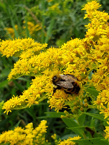 Native bumble bee on goldenrod.jpg