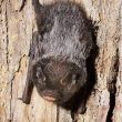 Faces of Wetlands: Silver-haired Bat